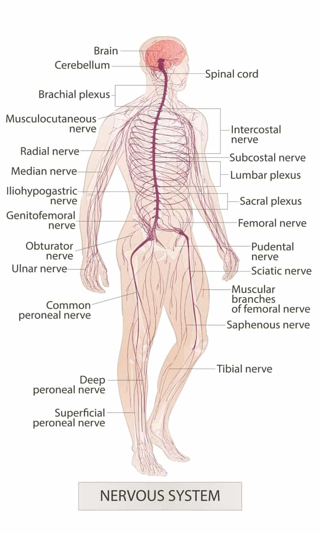 Your Nervous System Has Stoppe... is listed (or ranked) 1 on the list Why Our Limbs 'Fall Asleep' And Why It's So Painful