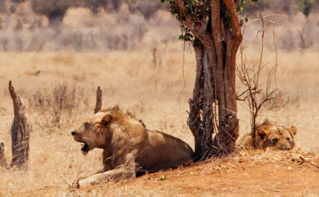 The Lions Came As A Pair is listed (or ranked) 1 on the list The Bloody Story Of The Man-Eating Lions Of Tsavo