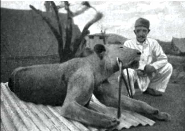 They Preyed On Railway Workers is listed (or ranked) 2 on the list The Bloody Story Of The Man-Eating Lions Of Tsavo