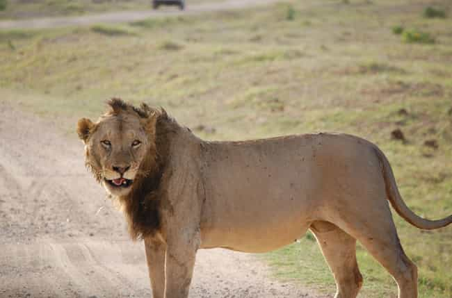 The Lions Were Over 9 Feet Lon... is listed (or ranked) 3 on the list The Bloody Story Of The Man-Eating Lions Of Tsavo