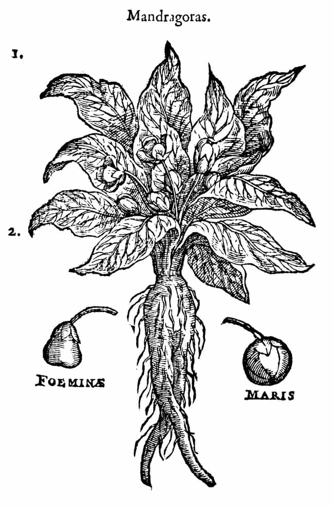 The Mandrake Allegedly Has A D... is listed (or ranked) 1 on the list The Mandrake Root From Harry Potter Exists, And Was Allegedly Grown From The Blood Of Hanged Men