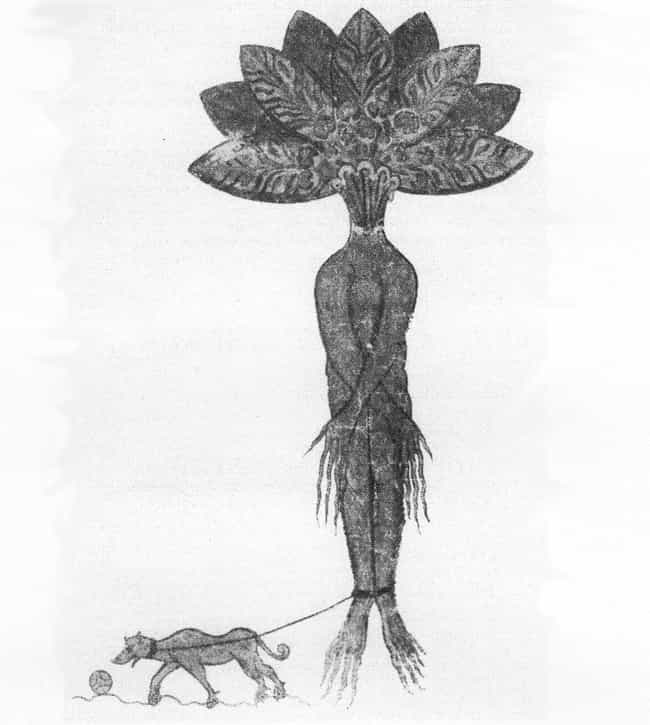 The Root Could Be Used As A Go... is listed (or ranked) 4 on the list The Mandrake Root From Harry Potter Exists, And Was Allegedly Grown From The Blood Of Hanged Men