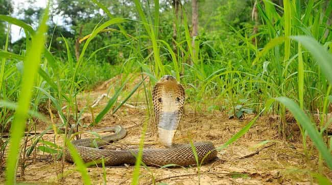 Monocled Cobra is listed (or ranked) 4 on the list These Horrifying Animals From Thailand Will Make You Rethink That Beach Vacation