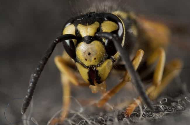 Carnivorous Bees Wont Le... is listed (or ranked) 4 on the list Here Are All Of The Gnarly Bugs That Love To Feed Off Of Human Flesh