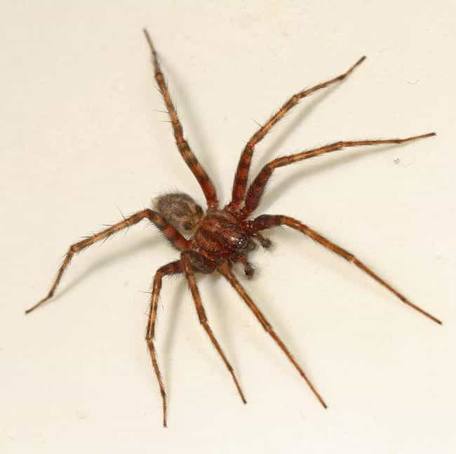 Barn Funnel Weaver Spider is listed (or ranked) 3 on the list The Most Common Animals You Share Your Home With