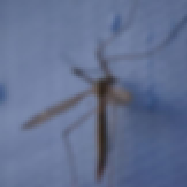 Crane Fly is listed (or ranked) 3 on the list The Most Common Animals You Share Your Home With