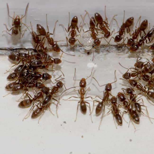 Argentine Ant is listed (or ranked) 1 on the list The Most Common Animals You Share Your Home With