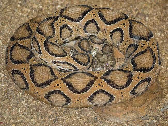Russell's Viper is listed (or ranked) 6 on the list These Horrifying Animals From Thailand Will Make You Rethink That Beach Vacation