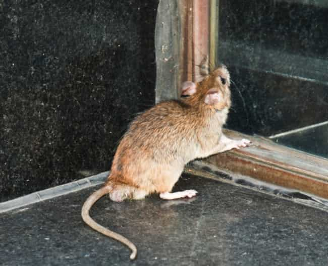 The Man With Thousands O... is listed (or ranked) 3 on the list Tales Of Rat Hoarders You'll Wish Weren't True