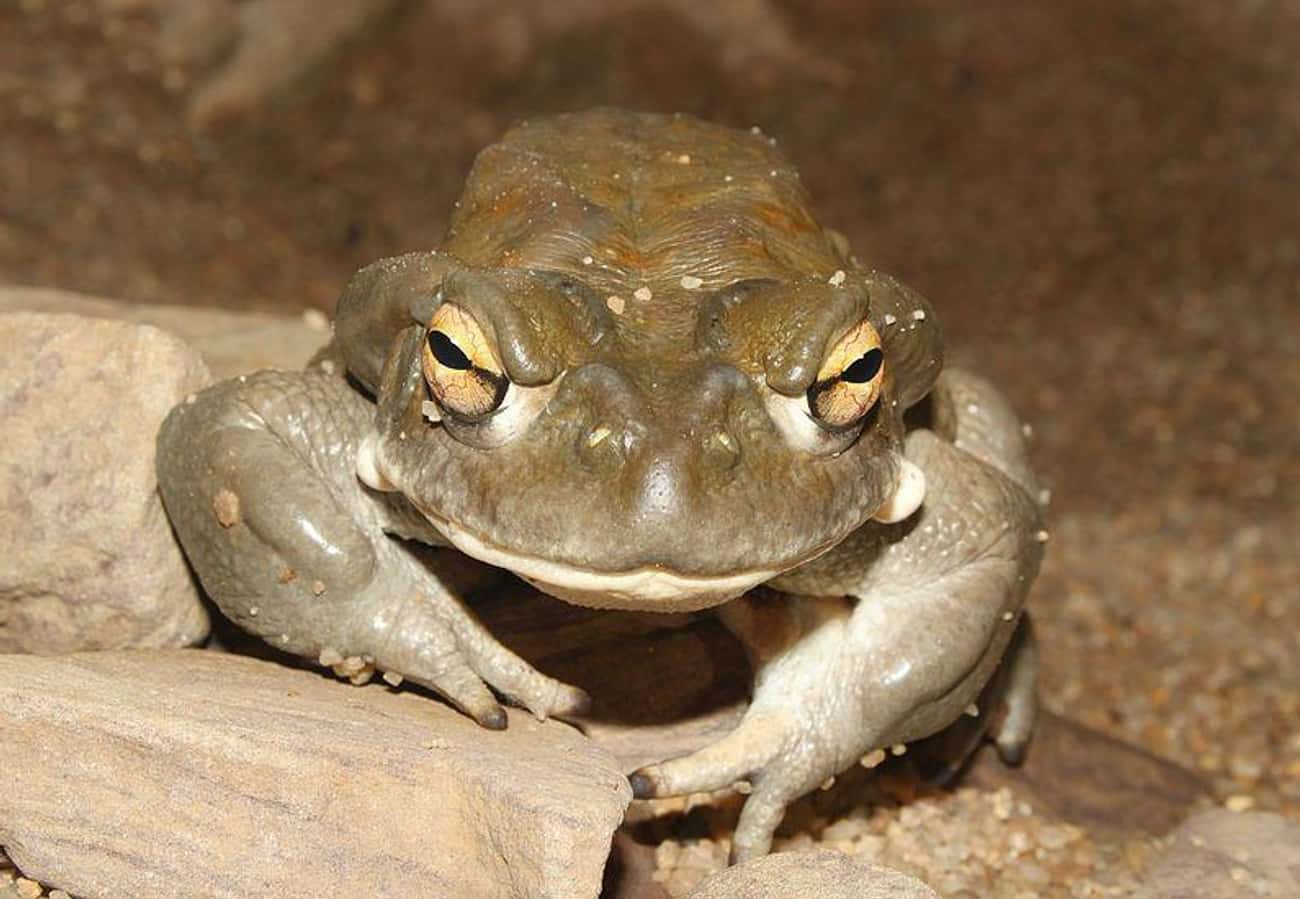 The Colorado River Toad Secret is listed (or ranked) 1 on the list This Rare Species Of Toad Produces One Of The Most Potent Natural Psychedelics