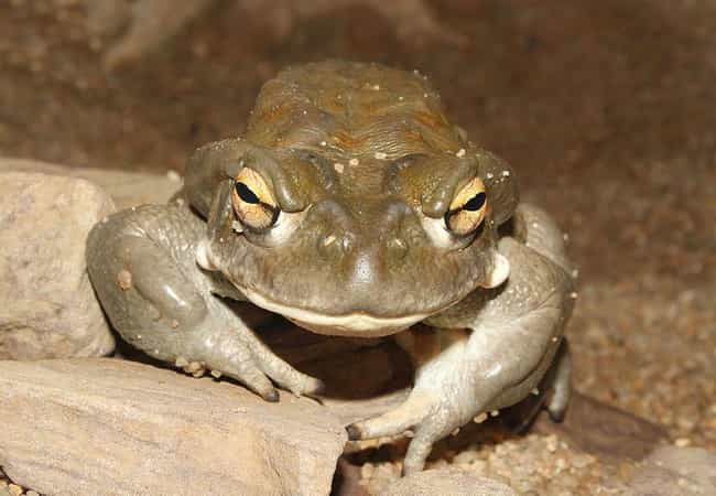 The Colorado River Toad Secret... is listed (or ranked) 1 on the list This Rare Species Of Toad Produces One Of The Most Potent Natural Psychedelics