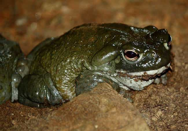 Owning The Toad Can Be Illegal is listed (or ranked) 4 on the list This Rare Species Of Toad Produces One Of The Most Potent Natural Psychedelics
