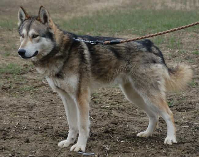 Wolf Hybrid is listed (or ranked) 2 on the list The Scariest-Looking Dogs in the World