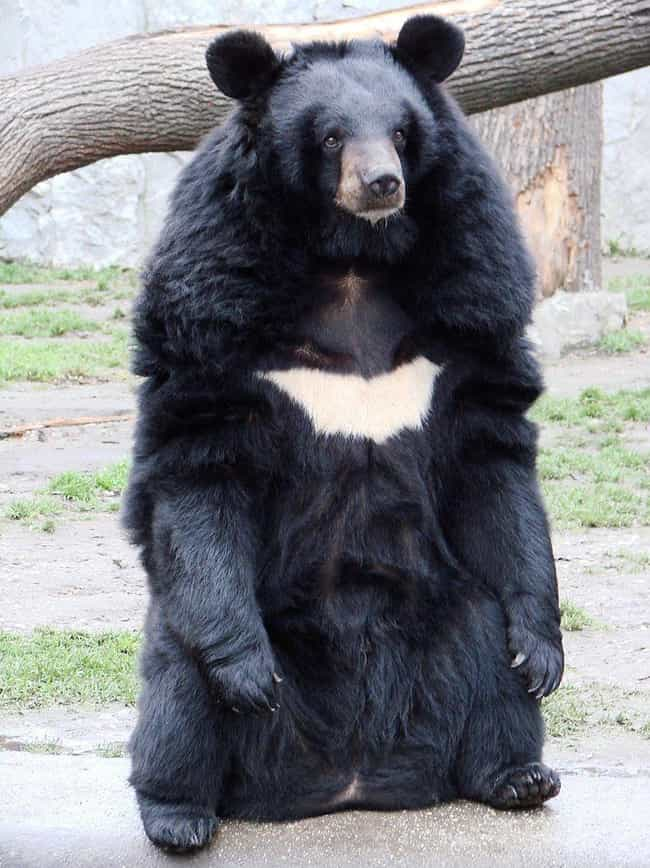 Asian Black Bear is listed (or ranked) 7 on the list The Scariest Types of Bears in the World