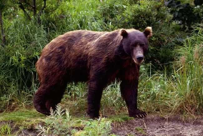 Kamchatka Brown Bear is listed (or ranked) 3 on the list The Scariest Types of Bears in the World
