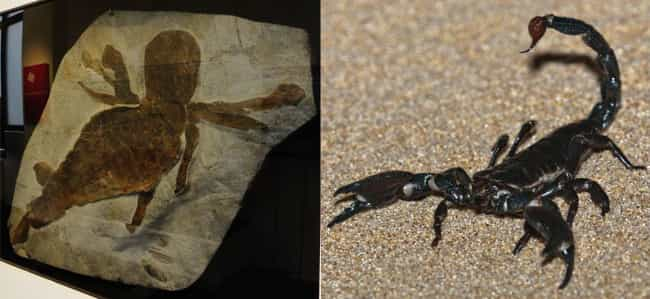 Scorpion is listed (or ranked) 1 on the list Things That Were Terrifyingly Bigger In Prehistoric Times