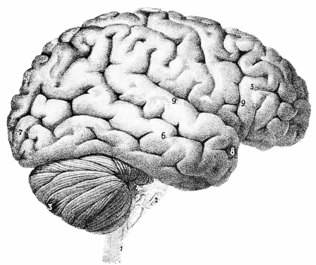 Brain is listed (or ranked) 1 on the list How Every Vital Organ Keeps You Alive - And What Happens When It Stops Working