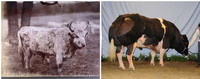 Beef Cattle is listed (or ranked) 1 on the list What Animals Looked Like Before Humans Started Breeding Them For Food