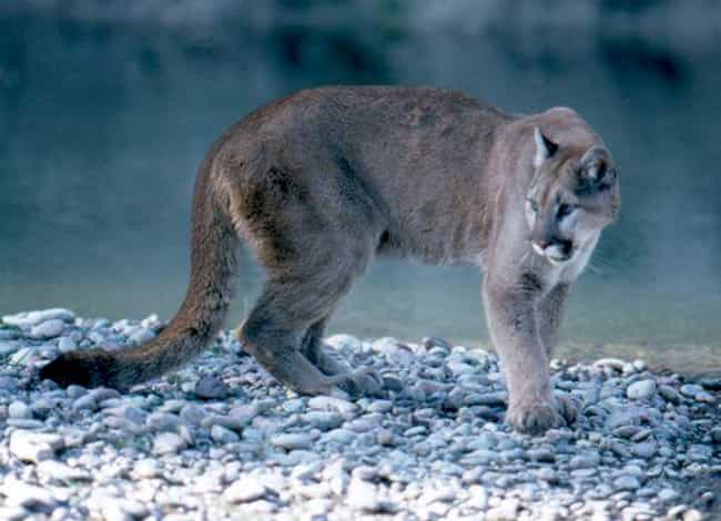 Pinos Altos, New Mexico Attack... is listed (or ranked) 2 on the list Every Fatal Mountain Lion Attack In US History