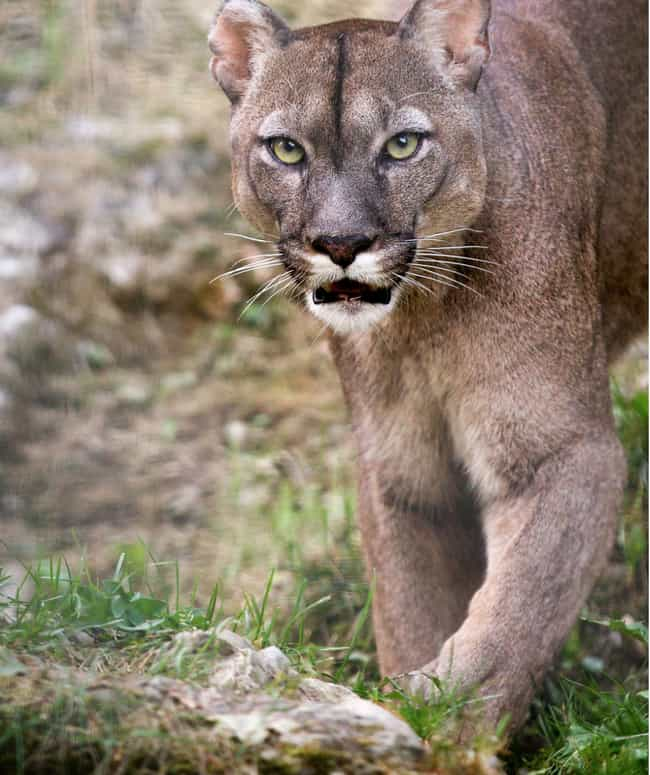 Mission Viejo, California Atta... is listed (or ranked) 3 on the list Every Fatal Mountain Lion Attack In US History