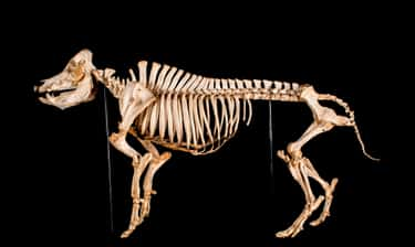Pigs Have Leg Bones Similar To is listed (or ranked) 2 on the list Human Bones Or Animal Bones? Here's How You Can Tell The Difference