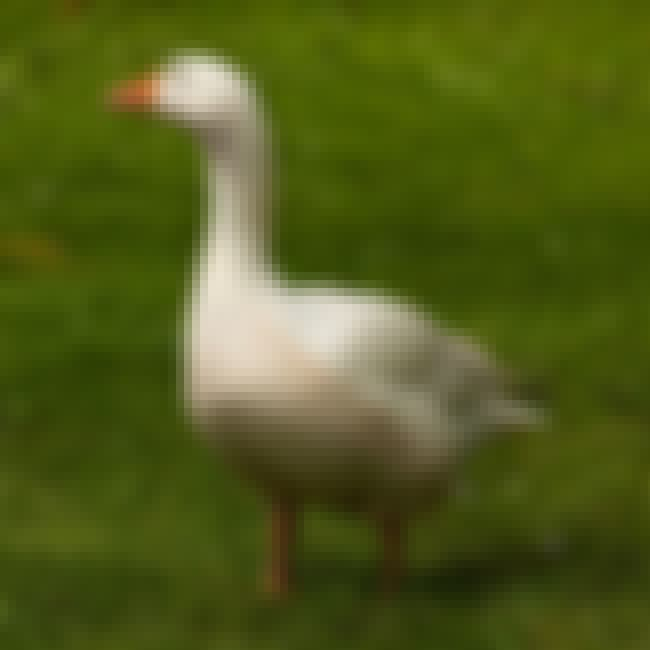 A Goose's Neck is listed (or ranked) 2 on the list 10 Gross Things People From History Actually Wiped With Before Toilet Paper
