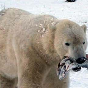 Svenka is listed (or ranked) 15 on the list The Best Fictional Polar Bears of All Time