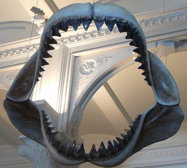 Its Jaws Could Crush Cars And ... is listed (or ranked) 2 on the list Megalodons Were One Of The Most Horrifying Creatures To Swim The Seven Seas