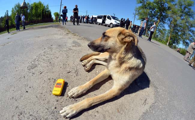 The Available Dogs Are Thoroug is listed (or ranked) 7 on the list Hundreds Of Dogs And Puppies Live In Chernobyl—And You Can Adopt One