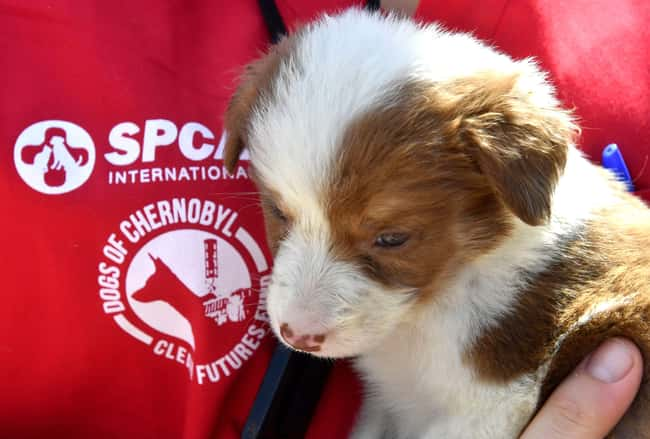 Dogs Have Been Cleared For Ado is listed (or ranked) 6 on the list Hundreds Of Dogs And Puppies Live In Chernobyl—And You Can Adopt One