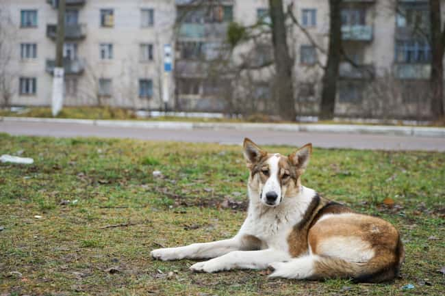 The Dogs Have Survived Multipl is listed (or ranked) 8 on the list Hundreds Of Dogs And Puppies Live In Chernobyl—And You Can Adopt One