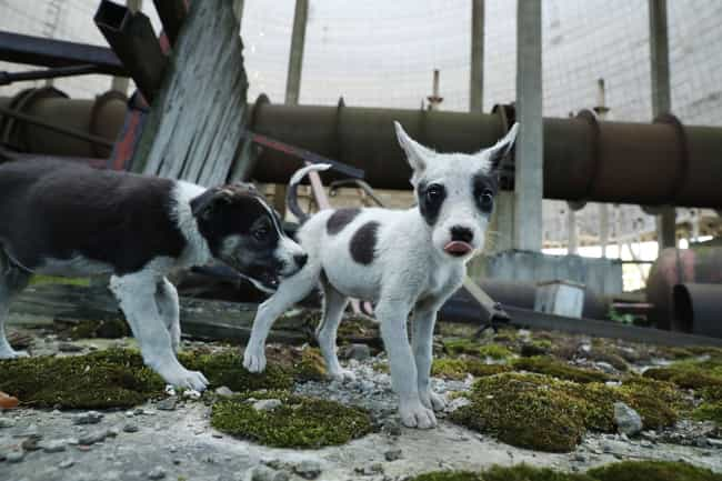 SPCAI :: Hundreds Of Dogs And Puppies Live In Chernobyl—And You Can