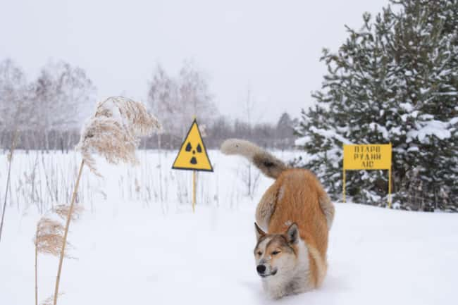 Visitors Should Not Pet The Do is listed (or ranked) 9 on the list Hundreds Of Dogs And Puppies Live In Chernobyl—And You Can Adopt One