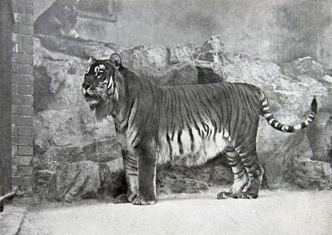 Caspian Tiger is listed (or ranked) 4 on the list List Of Extinct Big Cats, From Prehistoric Times to Now