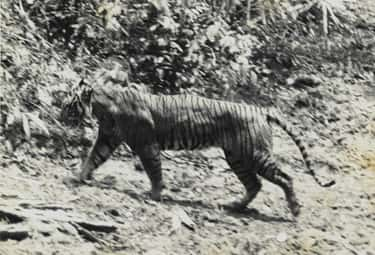 Javan Tiger is listed (or ranked) 2 on the list List Of Extinct Big Cats, From Prehistoric Times to Now