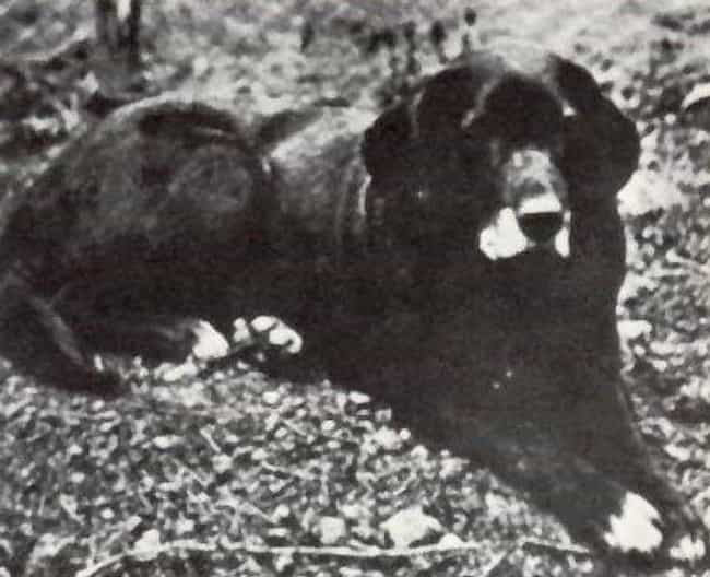 St. John's Water Dog is listed (or ranked) 3 on the list List Of Extinct Dogs from Scary to Cute