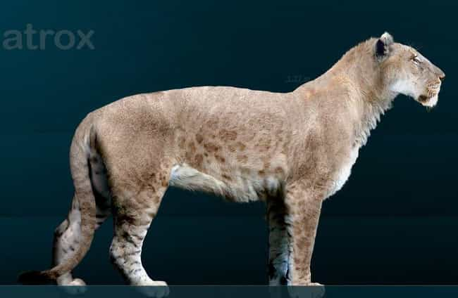 American Lion is listed (or ranked) 8 on the list List Of Extinct Big Cats, From Prehistoric Times to Now