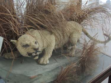 Zanzibar Leopard is listed (or ranked) 1 on the list List Of Extinct Big Cats, From Prehistoric Times to Now