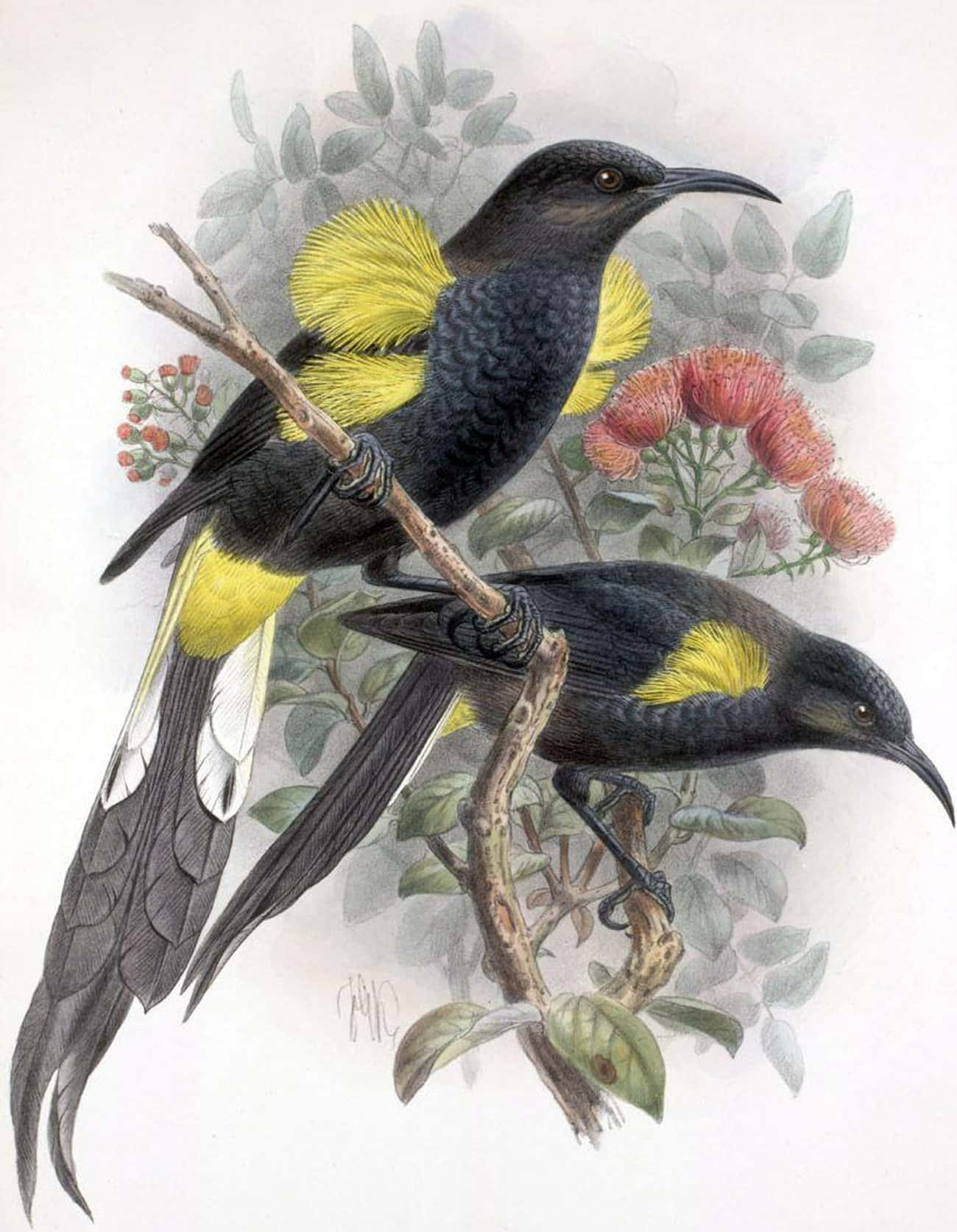 Hawaiʻi ʻōʻō is listed (or ranked) 2 on the list List Of Extinct Birds, From Prehistoric Times To Now