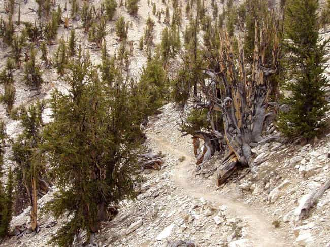 Methuselah, a 4,850-year-old G... is listed (or ranked) 3 on the list The Oldest Known Trees In The World