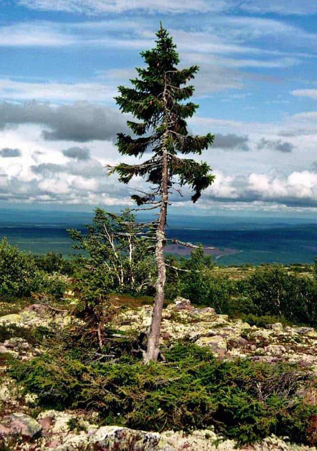 Old Tjikko, a 9,560-year-old N... is listed (or ranked) 1 on the list The Oldest Known Trees In The World