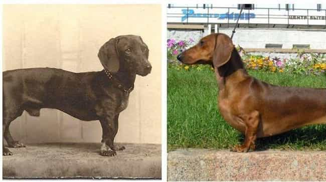 El Dachshund is listed (or ranked) 1 on the list Fotos Fascinantes De Diferentes Perros Desde Hace Cien Años Y De Hoy