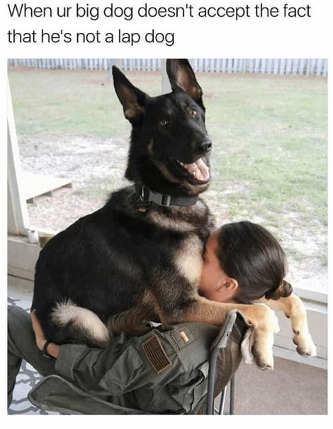 If There's A Lap, They're Sitt... is listed (or ranked) 4 on the list Memes About Man's Best Friend All Dog Owners Can Relate To