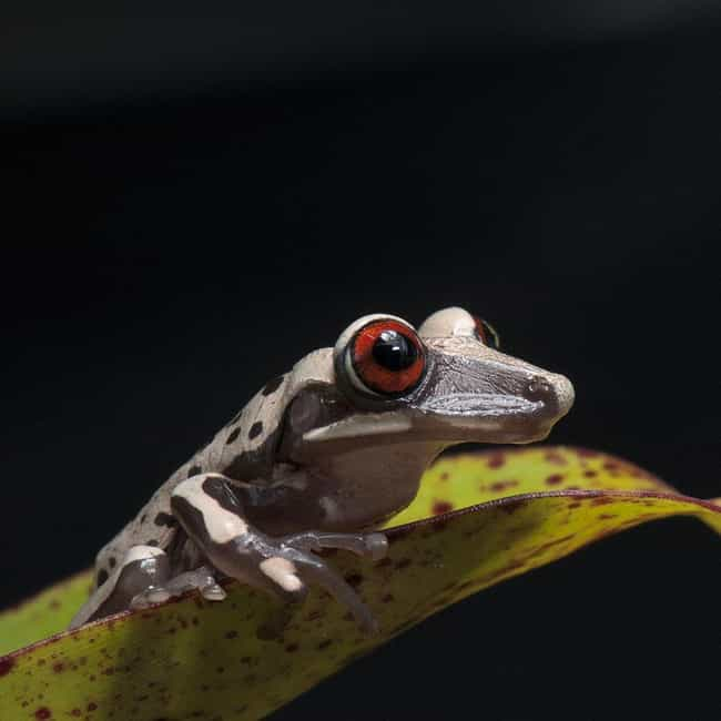 Bruno's Casque-Headed Fr... is listed (or ranked) 3 on the list The Most Poisonous Frogs & Toads