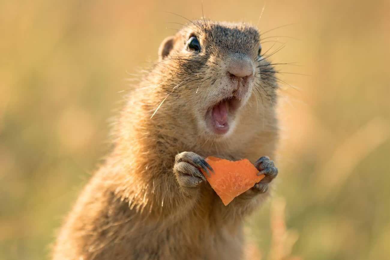 Stewed Squirrel
