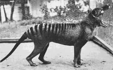 1933: The Last Known Thylacine At The Hobart Zoo In Tasmania