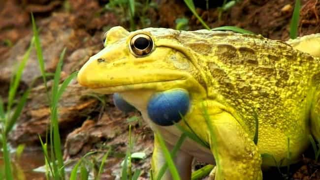 Indian Bullfrog is listed (or ranked) 4 on the list The Most Wonderful & Biggest Frogs In The World