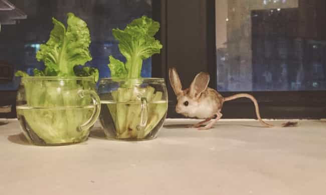 Long-Eared Jerboa is listed (or ranked) 2 on the list Wonderful Animals With The Longest Tails In The World