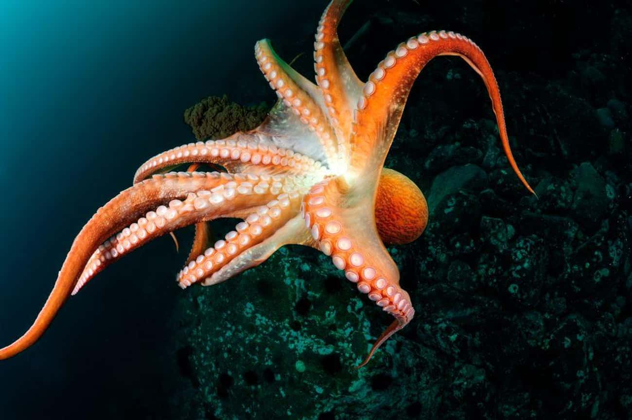 An Octopus's Ability To Contor is listed (or ranked) 2 on the list All The Reasons You Should Live In Fear Of An Octopus Apocalypse