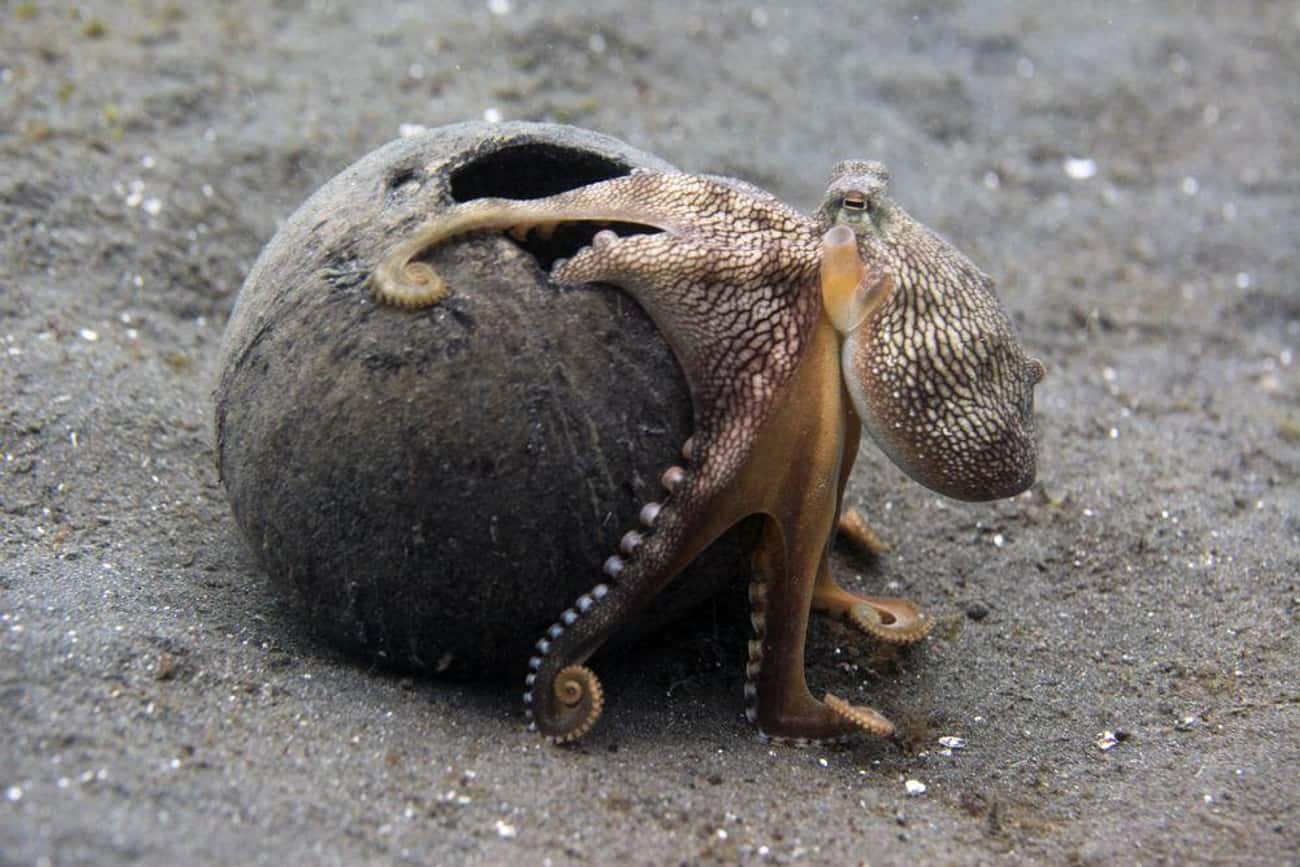 Octopuses Can Walk On Land is listed (or ranked) 1 on the list All The Reasons You Should Live In Fear Of An Octopus Apocalypse